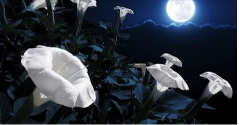 Thinking Minds Moon flowers